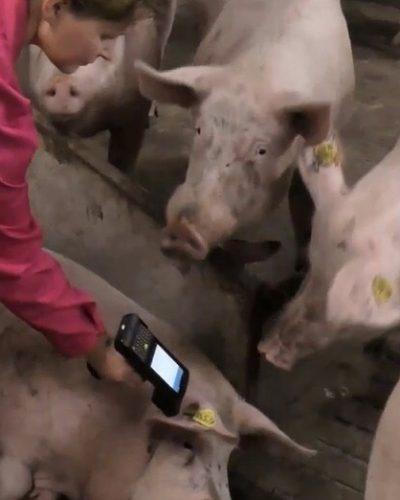 Lectura de chip RFID en cerdos con PDA Android con lector RFID LF