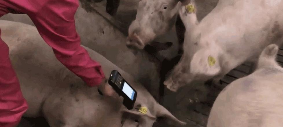 Lectura de crotales de cerdos con PDA Android RFID LF